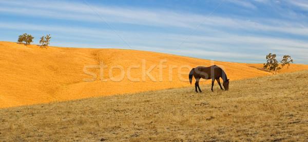 Foto stock: Liberdade · sozinho · cavalo · dourado · céu · azul