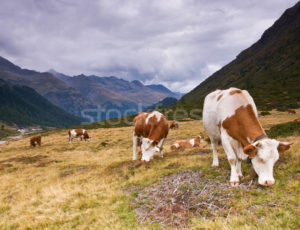 Cows on the alpine field Stock photo © MichaelVorobiev