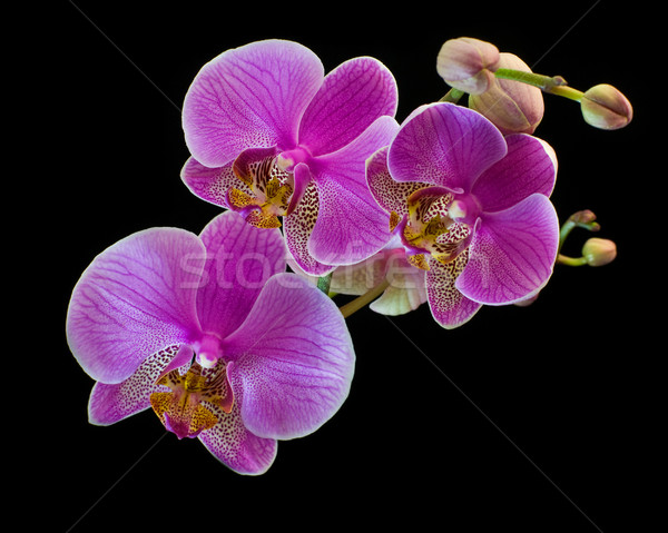 Orquídea isolado preto folha cor cabeça Foto stock © MichaelVorobiev