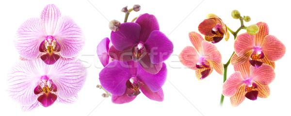 Phalaenopsis isolated on white Stock photo © MichaelVorobiev