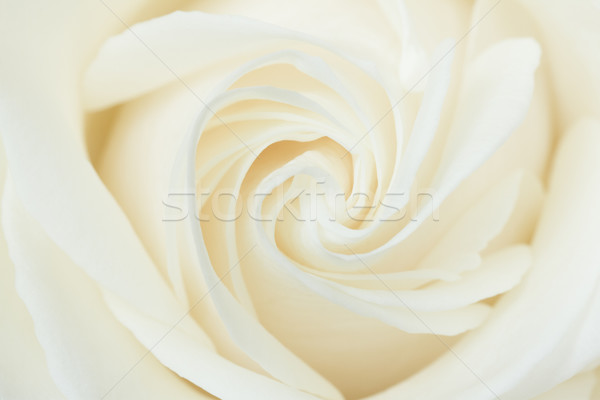 Photo stock: Blanche · rose · art · cadeau · studio