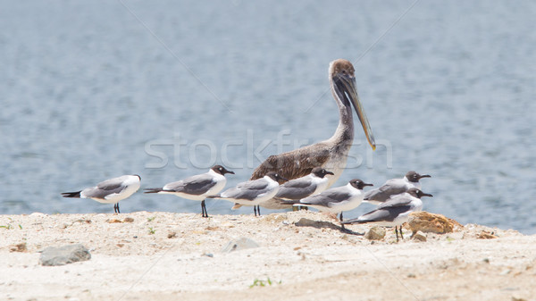 Brown pelican (Pelecanus occidentalis) sitting between Laughing  Stock photo © michaklootwijk