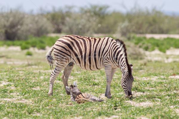 Burchells zebra (Equus Burchelli) with young Stock photo © michaklootwijk