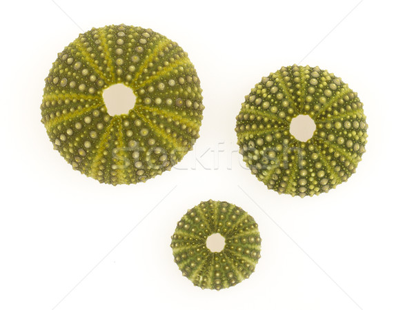 Isolated green sea urchins Stock photo © michaklootwijk