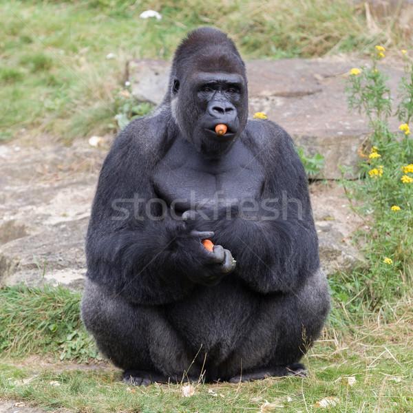 Ezüst férfi gorilla élvezi erdő gyümölcs Stock fotó © michaklootwijk