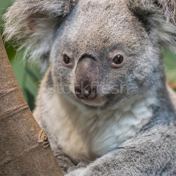 Close-up of a koala bear Stock photo © michaklootwijk