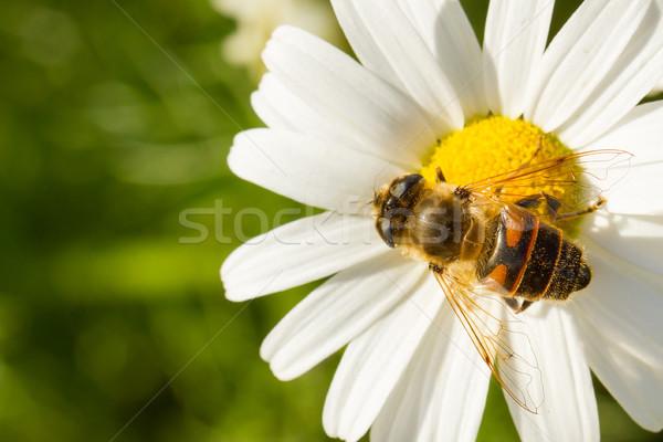 Fly drinking nectar on a wild white flower  Stock photo © michaklootwijk