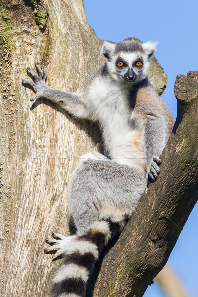 Ring-tailed lemur (Lemur catta) Stock photo © michaklootwijk