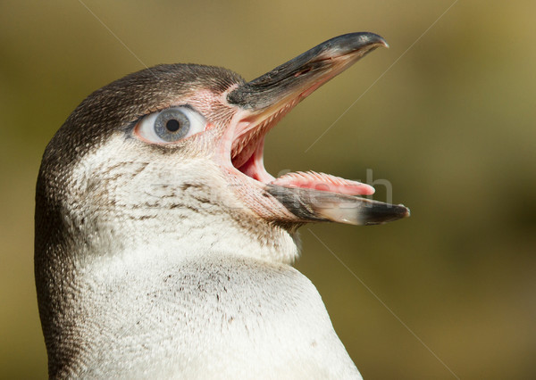Humboldt penguin with a human eye Stock photo © michaklootwijk