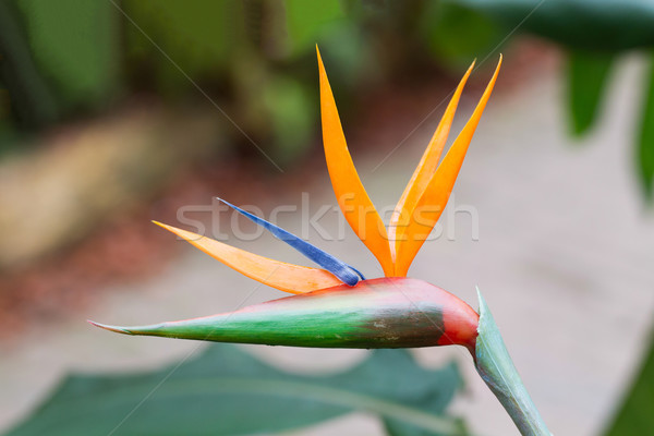 Bird of Paradise Plant Stock photo © michaklootwijk