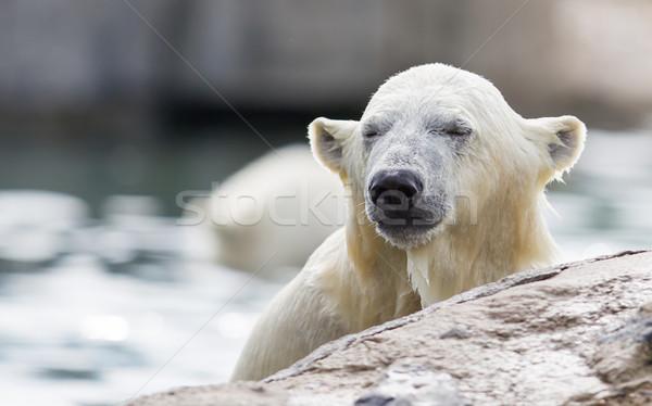 Close-up of a polarbear Stock photo © michaklootwijk