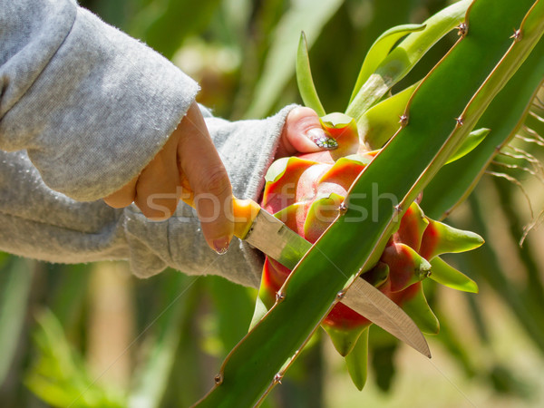 Stock photo: Woman harvesting a dragon fruit