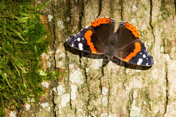 Red Admiral Butterfly - Vanessa atalanta Stock photo © michaklootwijk
