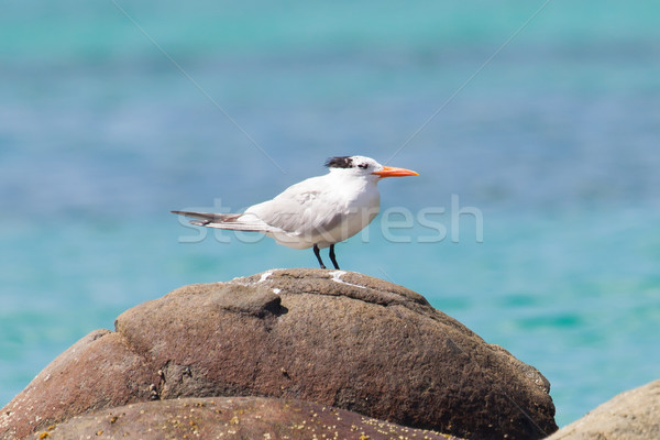 Royal Tern (Thalasseus maximus maximus) Stock photo © michaklootwijk