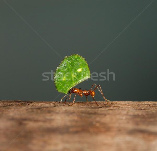 A leaf cutter ant Stock photo © michaklootwijk
