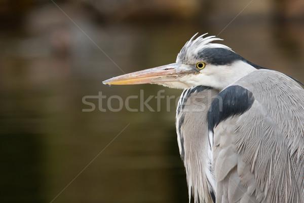Great blue heron Stock photo © michaklootwijk