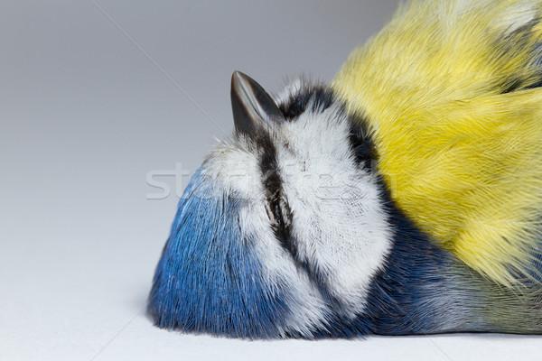 Niebieski tit oka charakter piękna Zdjęcia stock © michaklootwijk