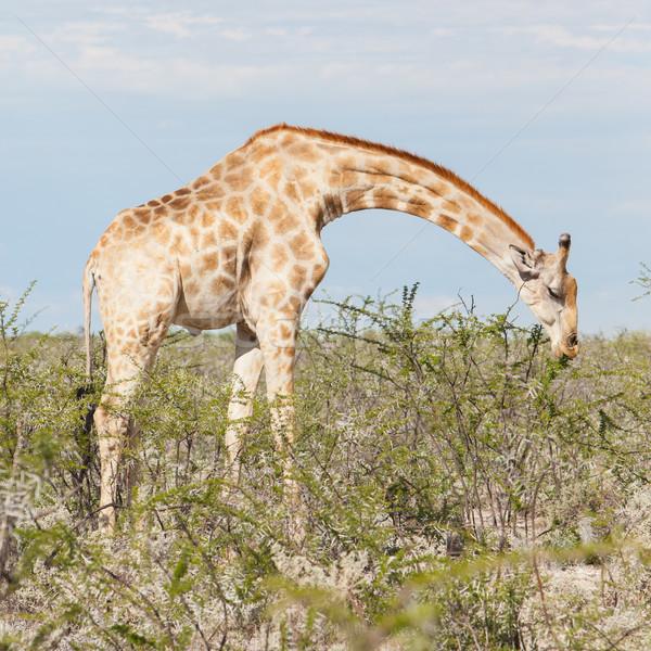 Giraffe in Etosha, Namibia Stock photo © michaklootwijk