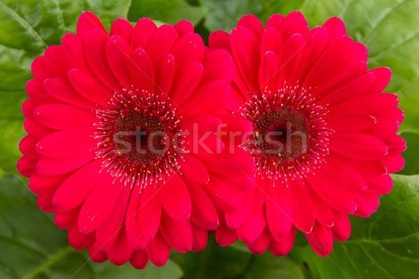 Foto stock: Rosa · flor · isolado · folhas · verdes · jardim · dom