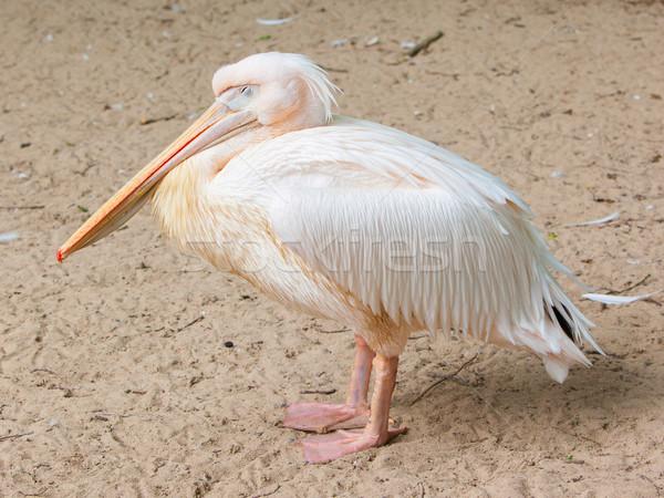 Adult pelican resting Stock photo © michaklootwijk
