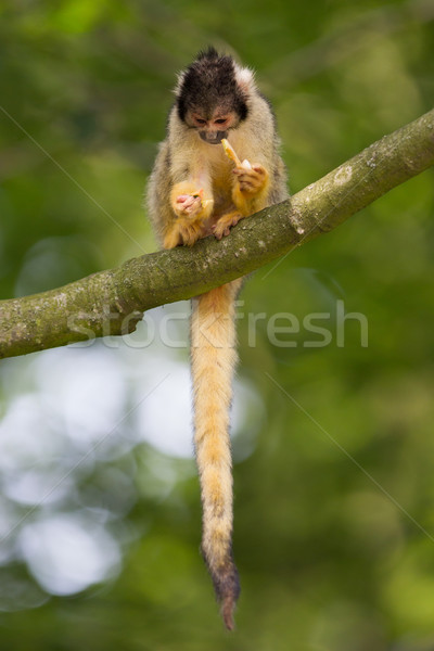 Mały wiewiórki selektywne focus drzewo szczęśliwy Zdjęcia stock © michaklootwijk