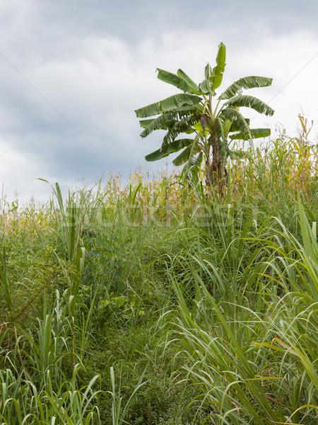 Bananów drzewo ukryty dżungli liści owoców Zdjęcia stock © michaklootwijk