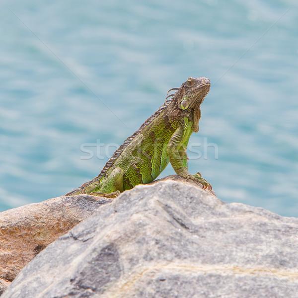 ストックフォト: 緑 · イグアナ · 座って · 岩 · カリビアン · 海岸