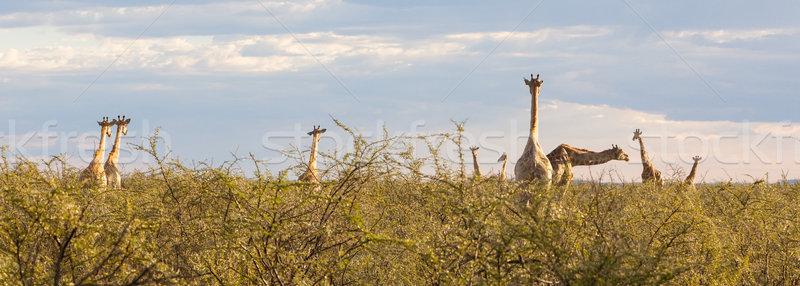 Group of giraffes in Etosha, Namibia Stock photo © michaklootwijk