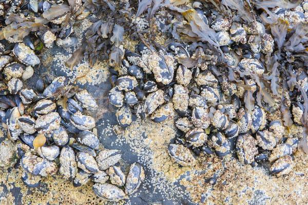 Cluster of mussels Stock photo © michaklootwijk