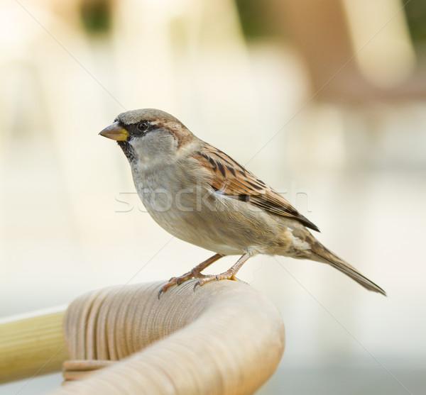 воробей Председатель Постоянный домой птица таблице Сток-фото © michaklootwijk