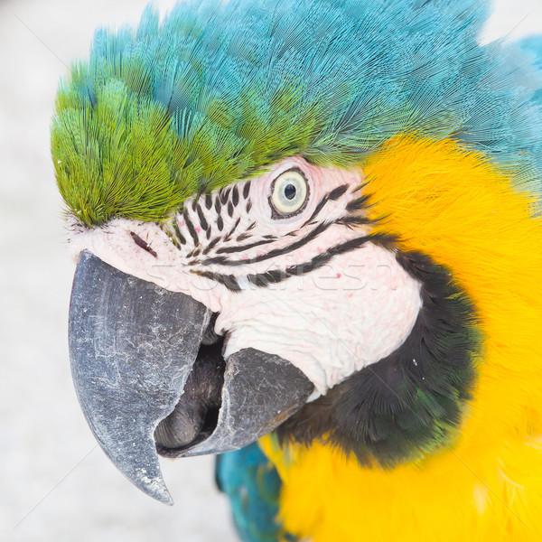 Yellow Macaw Stock photo © michaklootwijk
