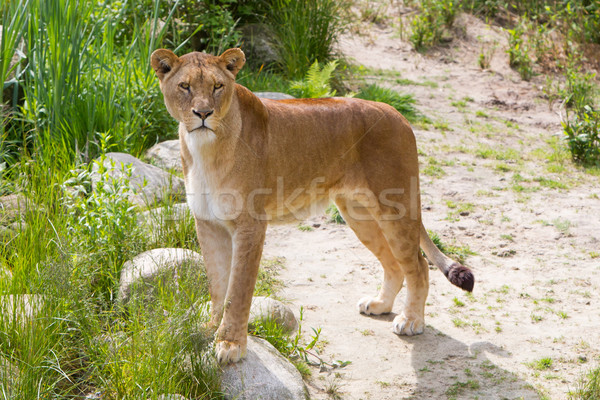 Large lioness in green environment Stock photo © michaklootwijk