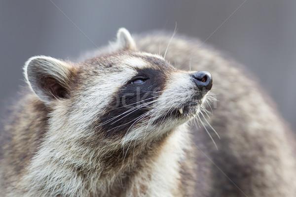 Close-up portrait of an adult raccoon Stock photo © michaklootwijk
