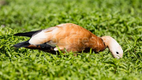 Fű szelektív fókusz víz természet háttér madár Stock fotó © michaklootwijk