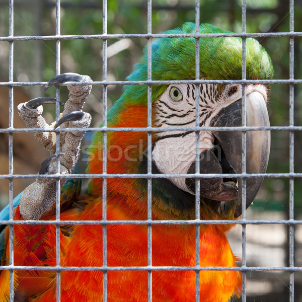 Colorful parrot in captivity Stock photo © michaklootwijk