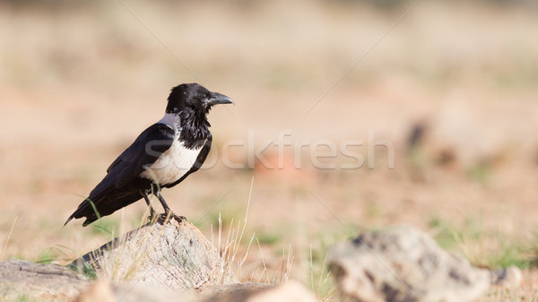 Pied crow (corvus albus) Stock photo © michaklootwijk