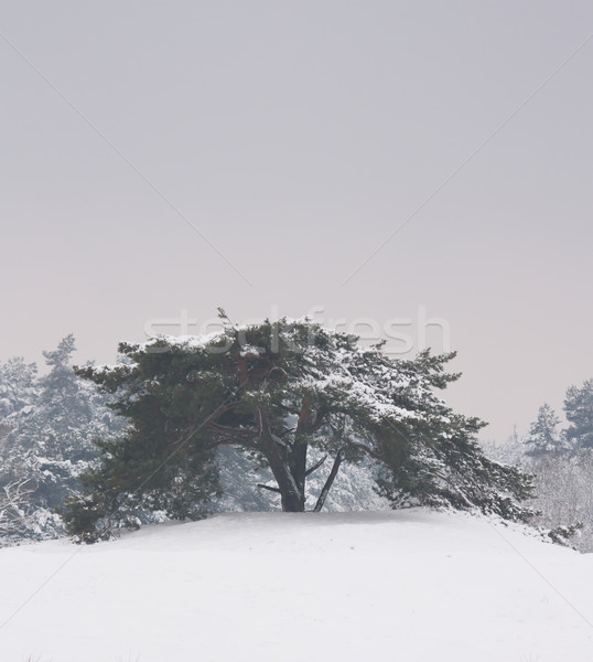 A tree in a very cold landscape  Stock photo © michaklootwijk