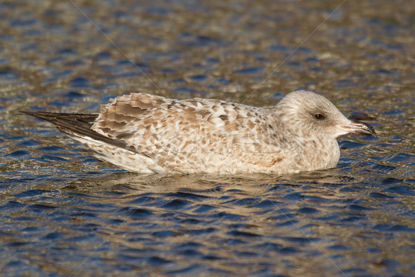 A seagull in the water Stock photo © michaklootwijk