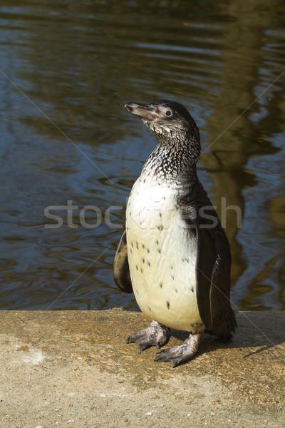 A Humboldt penguin Stock photo © michaklootwijk