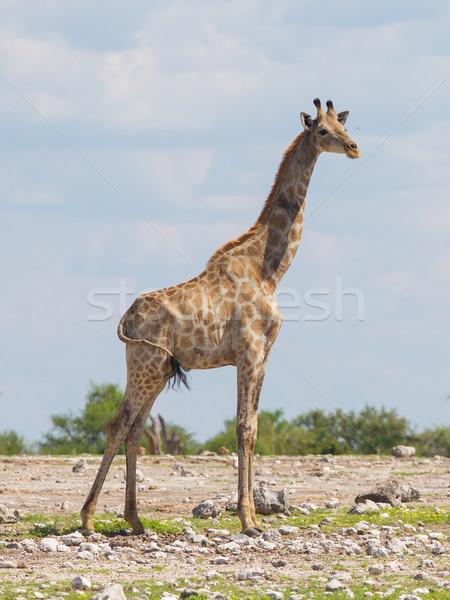 キリン ナミビア 公園 アフリカ 自然 ボディ ストックフォト © michaklootwijk
