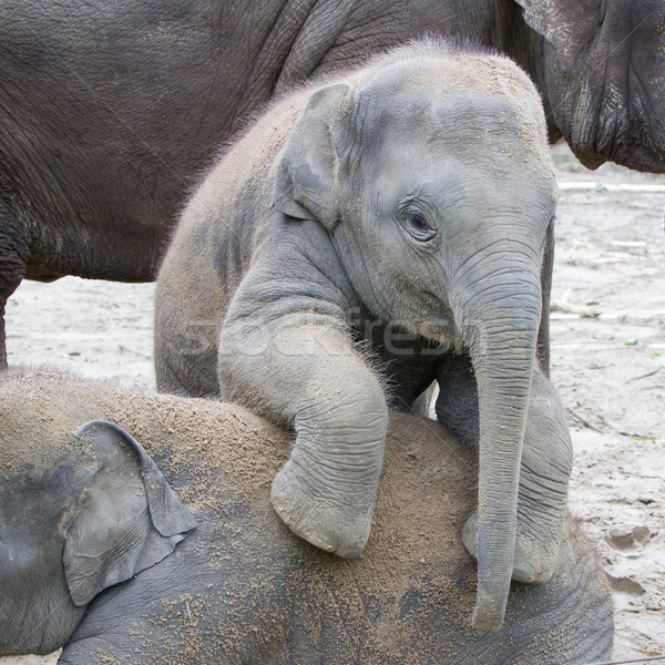 Stock photo: Two baby elephants playing in the sand