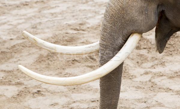 ázsiai elefánt közelkép felnőtt arc természet Stock fotó © michaklootwijk