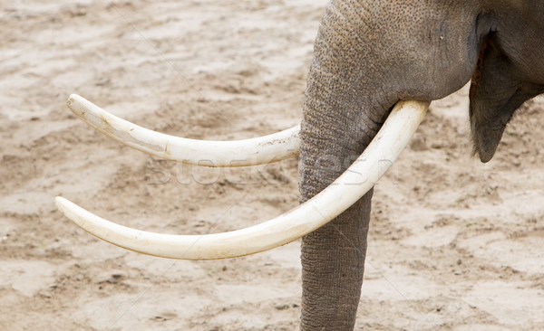 Asian elephant (Elephas maximus) tusks close-up Stock photo © michaklootwijk