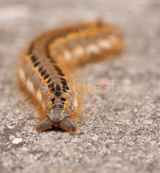 Rups steen vlinder natuur haren groene Stockfoto © michaklootwijk