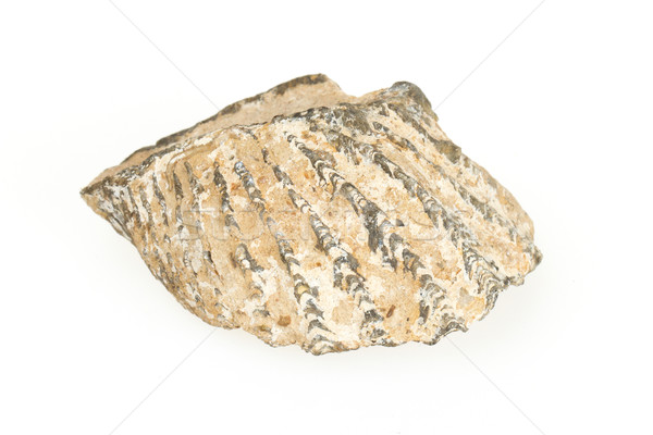 Velho fóssil concha isolado branco preto Foto stock © michaklootwijk