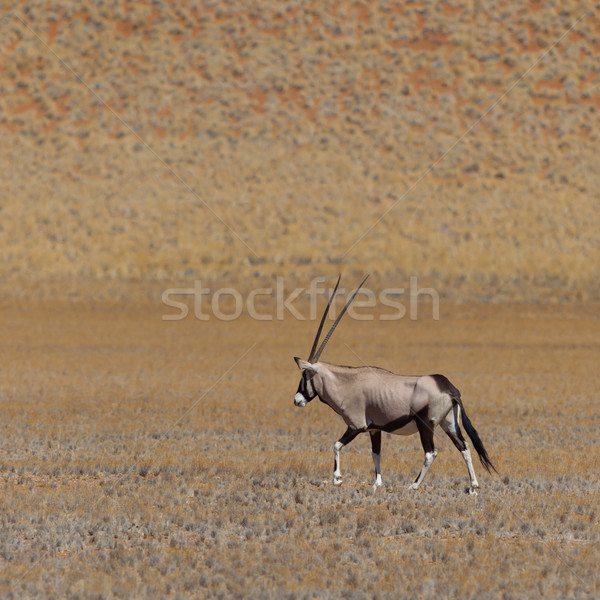 Gemsbok antelope (Oryx gazella) Stock photo © michaklootwijk