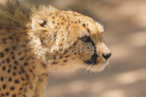 Közelkép vad gepárd Namíbia Afrika fű Stock fotó © michaklootwijk