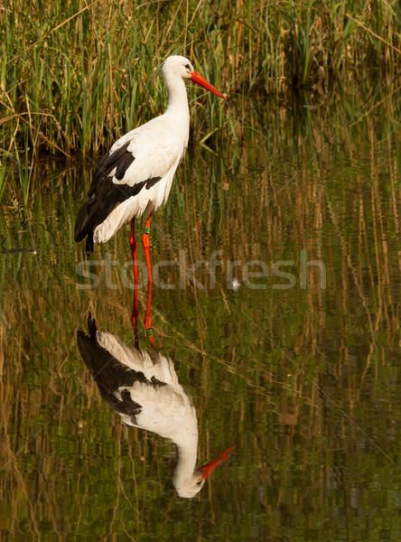 Leylek su Hollanda çim doğa vücut Stok fotoğraf © michaklootwijk