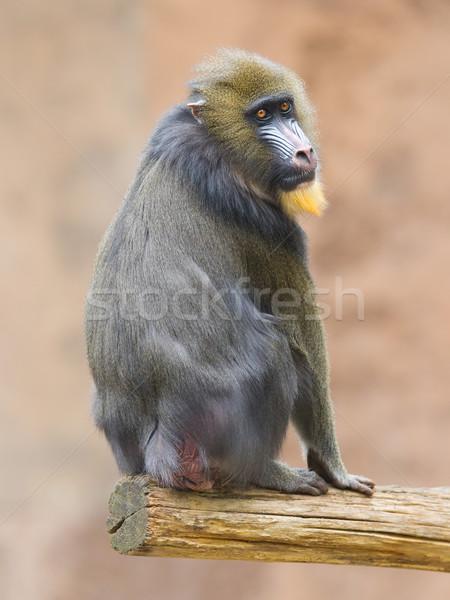 Foto stock: Retrato · adulto · naturalismo · habitat · floresta · macaco