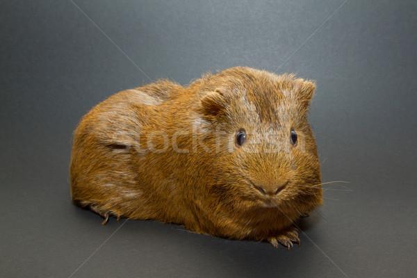 A guinea pig  Stock photo © michaklootwijk